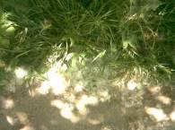 тополиный пух на земле