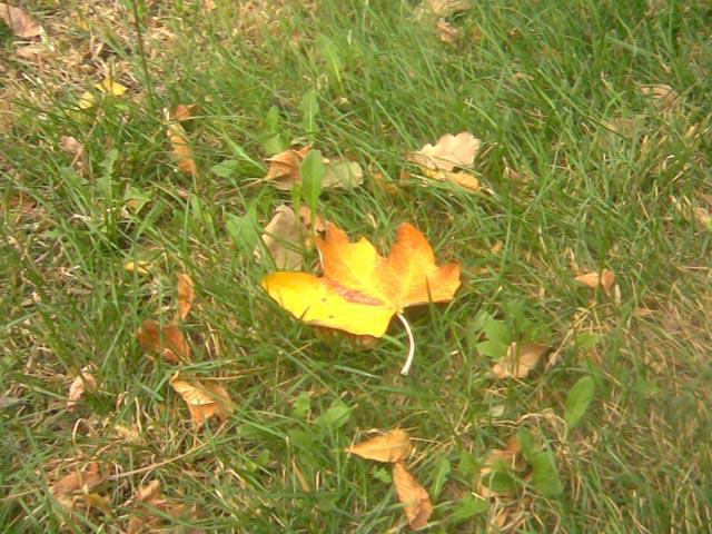Лист клена на траве