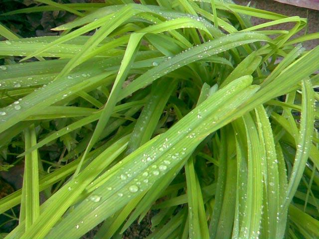 Капли воды на траве