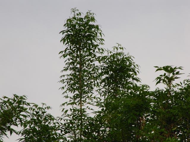 Макушки деревьев - 25 метров