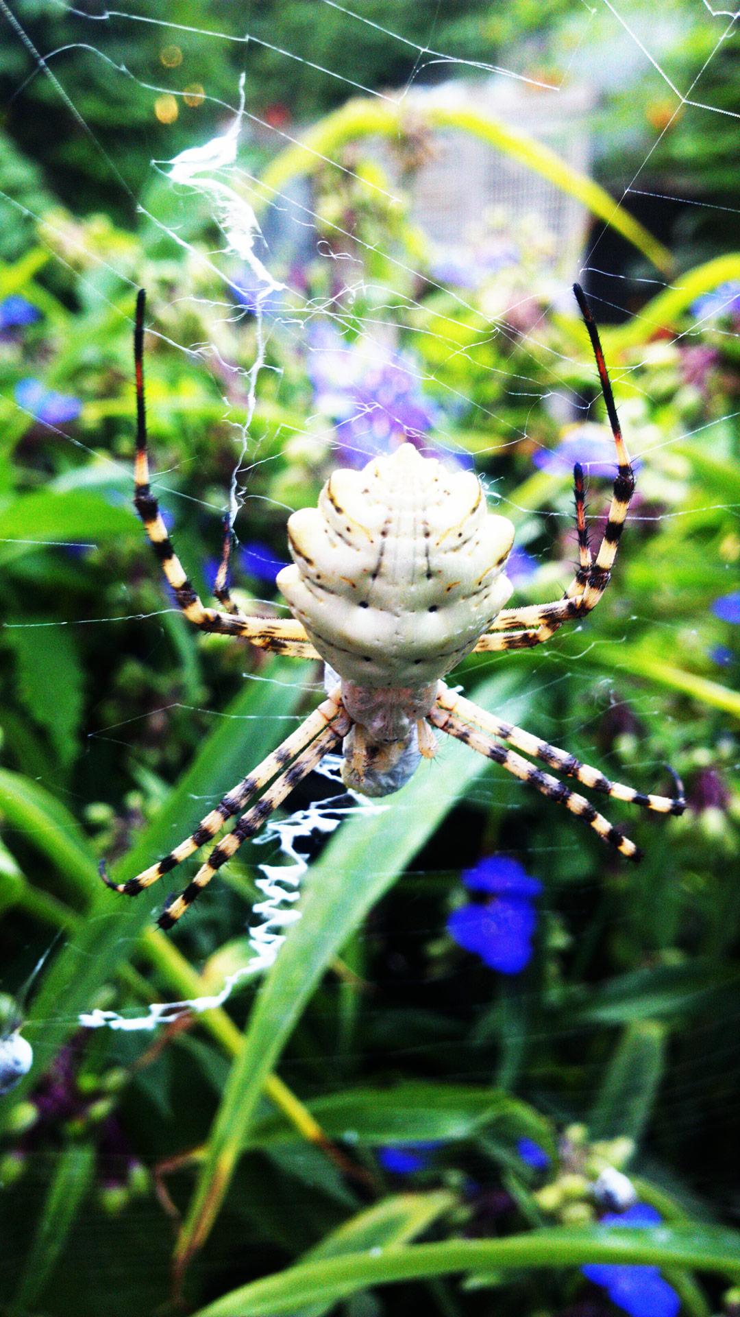 Самка паука Аргиопы дольчатой - абсолютно безобидная