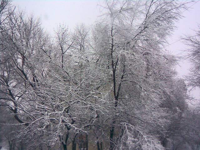 снег на деревьях